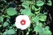 Sturts-Rose Sturts desert rose