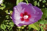 Sturts-Rose-2
