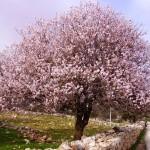 gardening Almond trees, 4