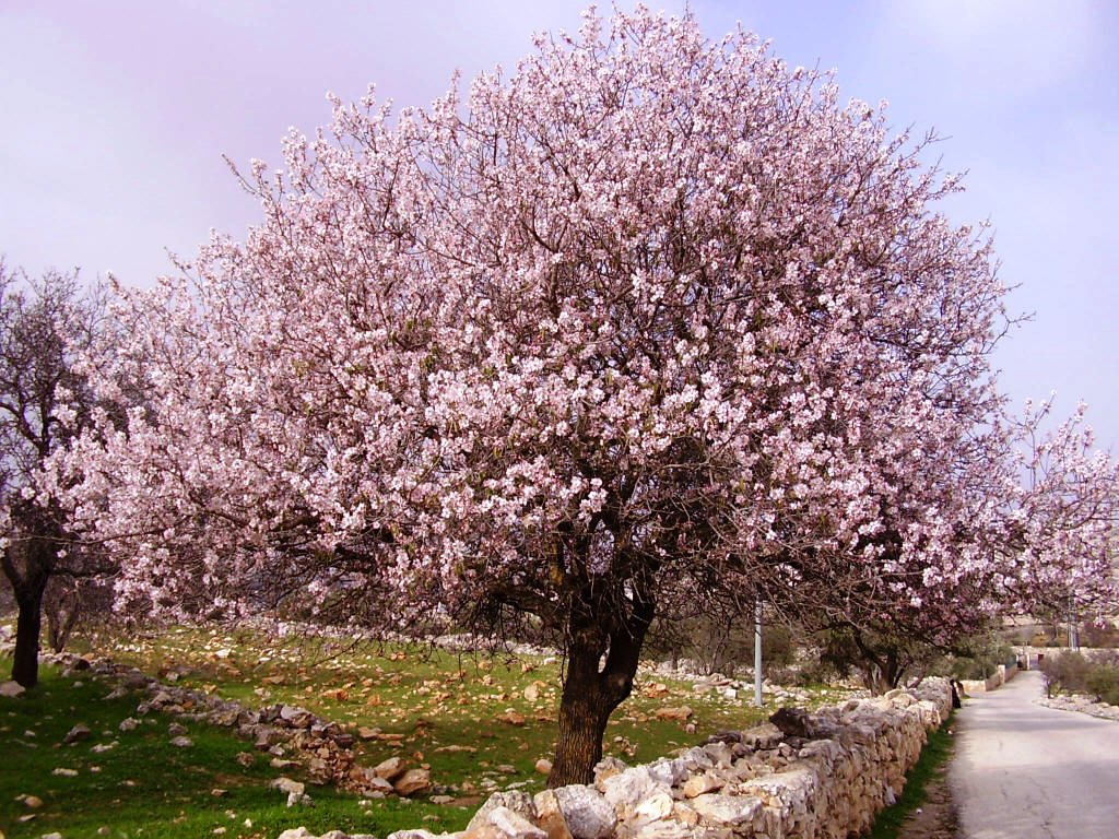 almond trees care includes interesting videos spain info