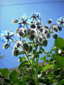 BORAGE companion planting