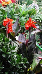 Cannas two