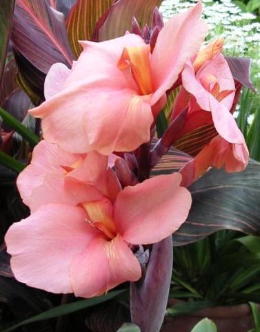 Cannas pink