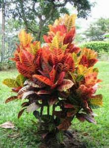 Codiaeum-variegatum foliage plants