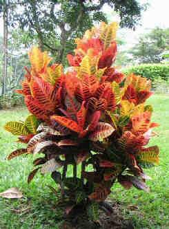 Codiaeum-variegatum