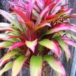 gardening Cordyline-fruticosa