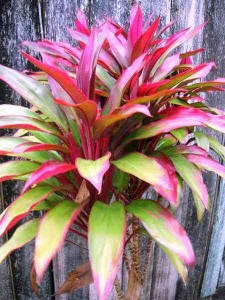 Cordyline-fruticosa foliage plants