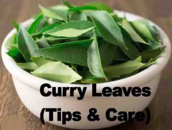 curry leaves Tips Tricks Curry leaf tree