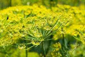 Fennel plant flower heads