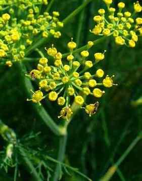 Fennel Mediterranean Herb