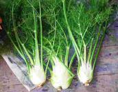 Fennel plant bulbs Herbal Information