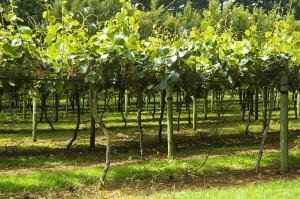 Kiwi fruit orchard, 1 kiwi fruit