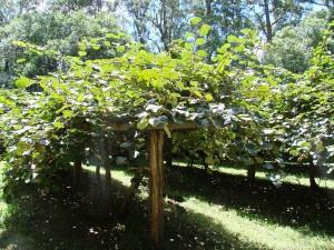 Kiwi fruit orchard, 2 kiwi fruit