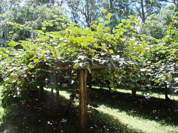 Kiwi fruit orchard, 2