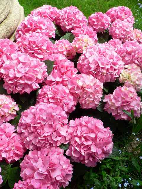 Hydrangea Macrophyllas Demanding When Comes 2 Watering Spain Info
