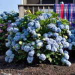Mophead-hydrangea gardening