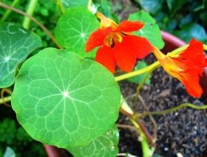 Nasturstium plant companion planting