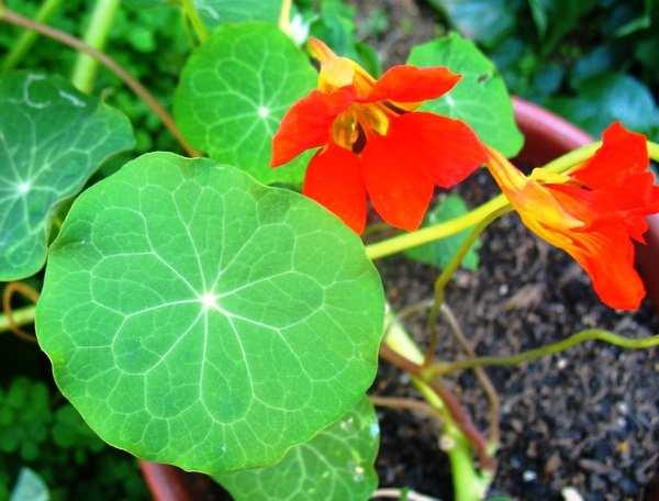 Nasturstium plant