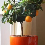 Orange-in-pot-Spain gardening