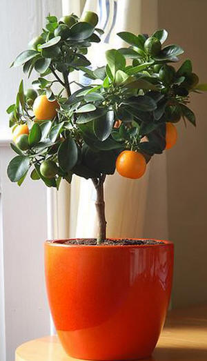 Orange-in-pot-Spain Orange Trees