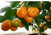 Orange-tree-indoors Orange Trees