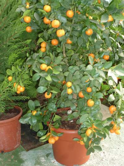 Orange-tree-in-pot Orange Trees