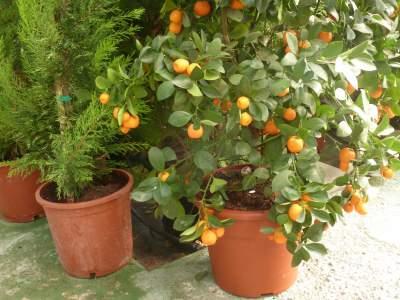 Orange-tree-in-pot