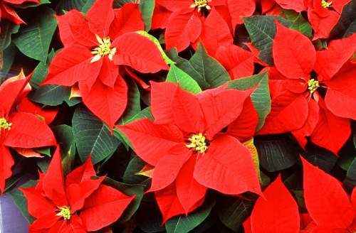 Poinsettia poinsettias