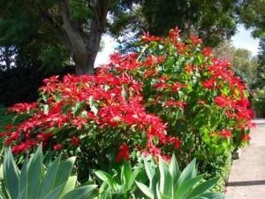 Poinsettia poinsettias