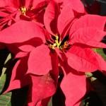 gardening Poinsettia