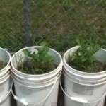 gardening Potatoes in white buckets