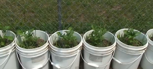 Potatoes in white buckets