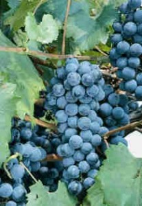 Grape Growing Ready-Grapes