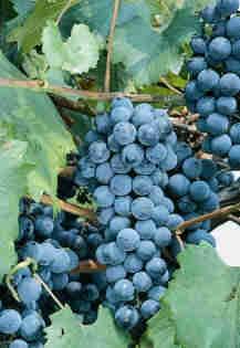 Ready-Grapes