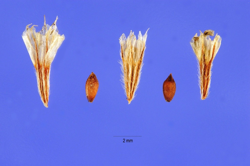 SEA THRIFT Seed
