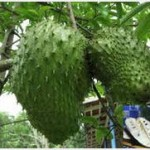 Graviola Soursop Fruit Spain gardening