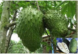 Graviola Tree Soursop Controversial Cancer Killer Is Claimed Spain Info