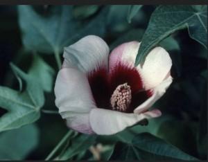 Sturts-desert-rose-9 Sturts desert rose