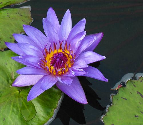 Tropical-water-lily