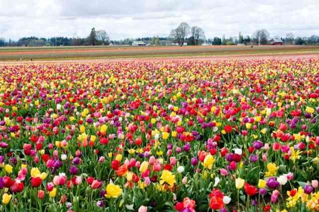 Tulips field tulips