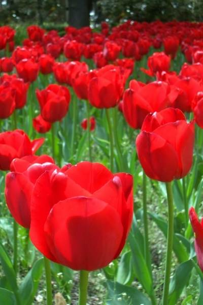 Tulips 2.jpg-for-web-LARGE