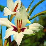 gardening acidanthera 1