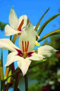 acidanthera 1