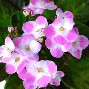 African violets african violets-10 African violets