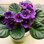 gardening african-violets-2