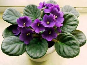 African violets african violets-2 African violets