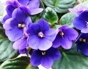 African violets african violets-3 African violets