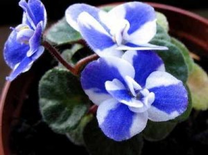 african-violets-5 African violets