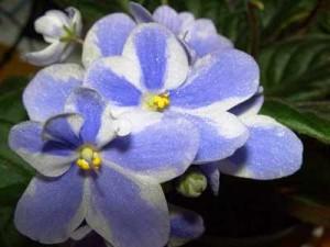 African violets african violets-8 African violets