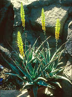 aloe_veraa Herbal Information